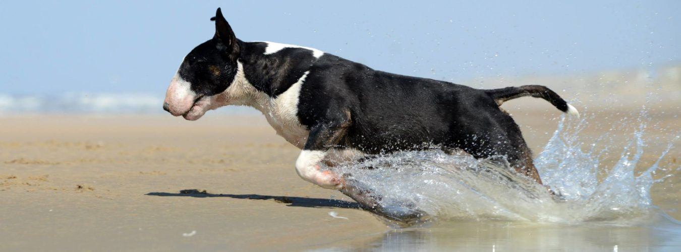 Quaestor Bull Terriers